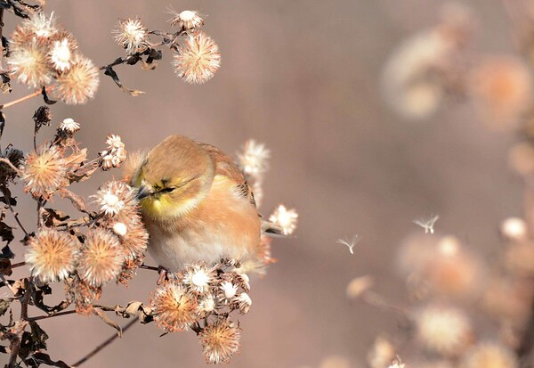 American Goldfinch (m) -- Spinus tristis