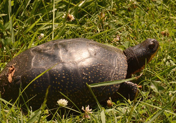 """Blanding's Turtle -- Emydoidea blandingii, endangered in most of its North American range, including IL. Lifespan may exceed 70 years. This one was in Goose Lake Prairie, Grundy County, IL.  """"When one reflects on the state of this strange being, it is a matter of wonder that Providence should bestow such a profusion of days, such a seeming waste of longevity, on a reptile that appears to relish it so little as to squander more than two-thirds of its existence in a joyless stupor, and be lost to all sensation for months together in the profoundest of slumbers."""" ~ Gilbert White, """"Natural History of Selborne"""", 1780."""