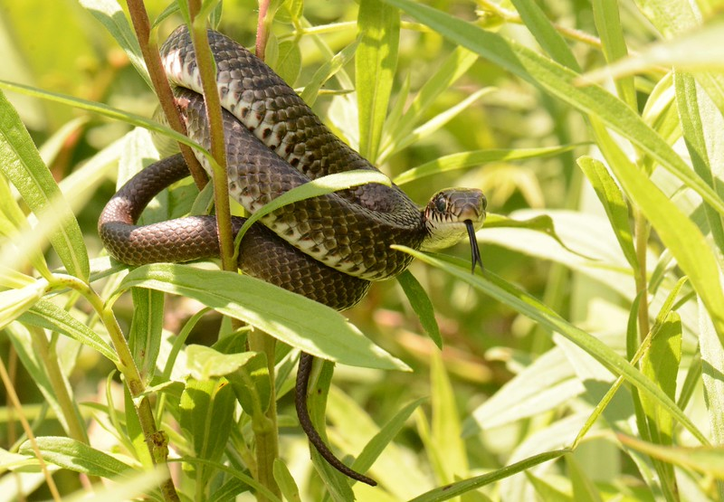 juvenile Blue Racer -- Coluber constrictor foxii<br /> <br /> 'Self-love forever creeps out, like a snake, to sting anything which happens to stumble upon it.' ~ George Gordon Byron