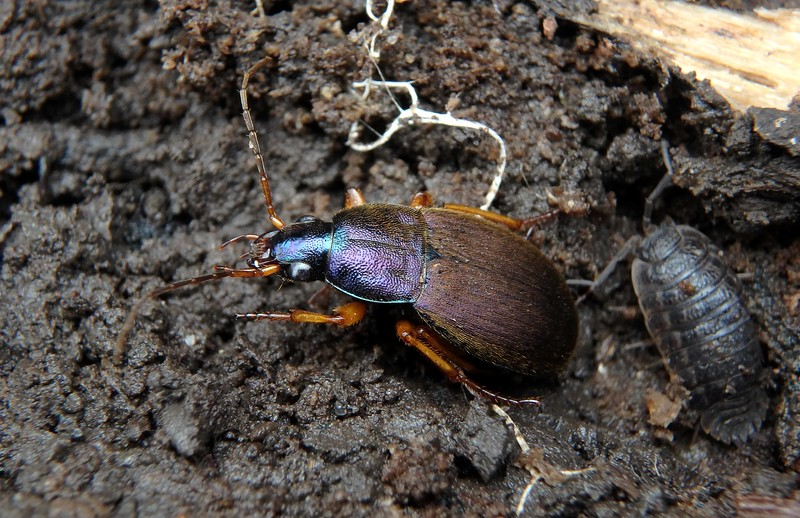 Ground Beetle -- Chlaenius spp., Family Carabidae, often appear metallic despite a covering of fine hairs.<br /> <br /> 'Only with winter-patience can we bring<br /> The deep desired, long-awaited spring.' ~ Anne Morrow Lindburgh