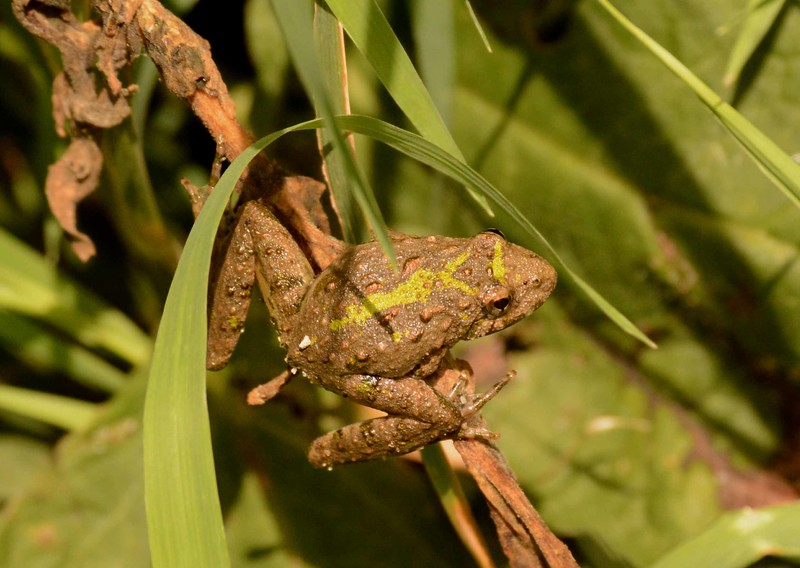 "Blanchard's Cricket Frog -- Acris blanchardi<br /> <br /> 'I  had a family <br /> of trees, and another of plants,<br /> and I talked and talked<br /> with the animals I found.' ~ from ""Poema de Chile"" by Gabriela Mistral, 1967."
