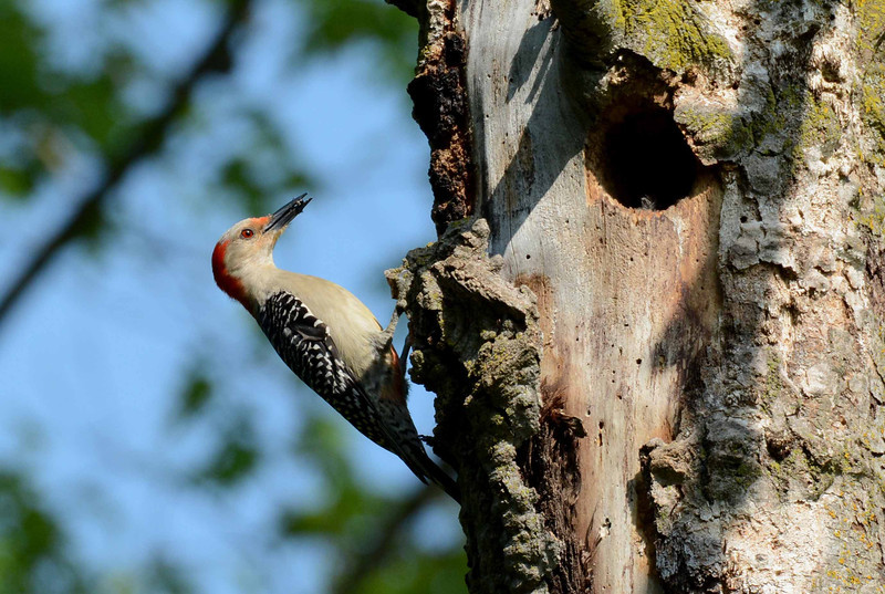 "Red-bellied Woodpecker (f) -- Melanerpes carolinus, bringing food to her nestlings. Old woodpecker nests often become homes for other birds.<br /> <br /> ""Plans to protect air and water, wilderness and wildlife are in fact plans to protect man."" ~ Stewart Udall"