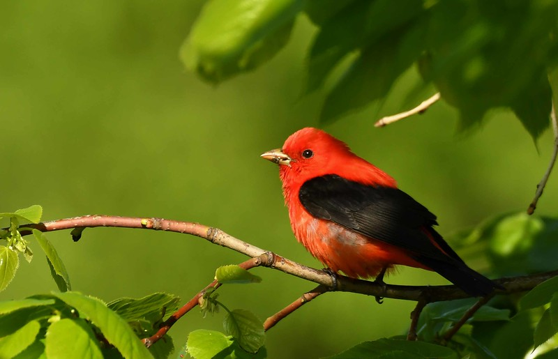 "Scarlet Tanager (m) -- Piranga olivacea<br /> <br /> 'The lord of beauty enters the soul<br /> as a man walks into an orchard<br /> in Spring.' ~ from ""You Sweep the Floor"" by Rumi"