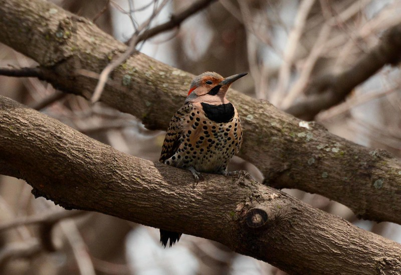 Northern Flicker (m) -- Colaptes auratus, soaking up a little solar energy