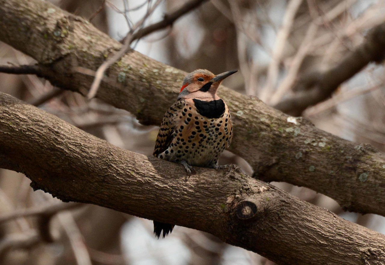 "Northern Flicker (m, yellow-shafted) -- Colaptes auratus<br /> <br /> ""Rest is not idleness, and to lie sometimes on the grass on a summer day listening to the murmur of water, or watching the clouds float across the sky, is hardly a waste of time."" ~ John Lubbock"