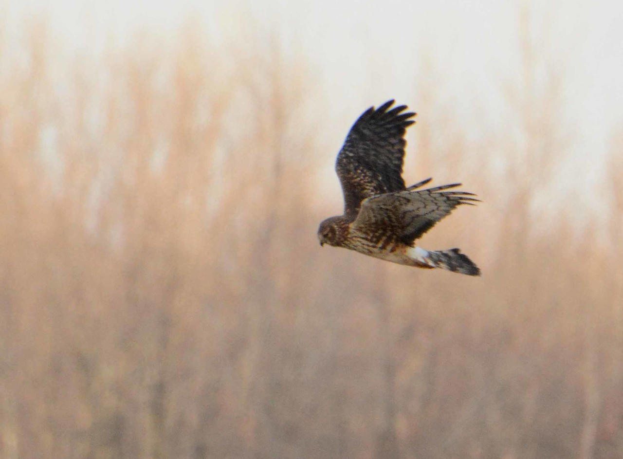 "Northern Harrier -- Circus cyaneus, endangered in IL<br /> <br /> '... to immerse, to have it slide	<br /> through us, disappearance<br /> of the skin, this is what we are looking for,<br /> the way in.' ~ from ""Marsh, Hawk"" by Margaret Atwood, 1978."