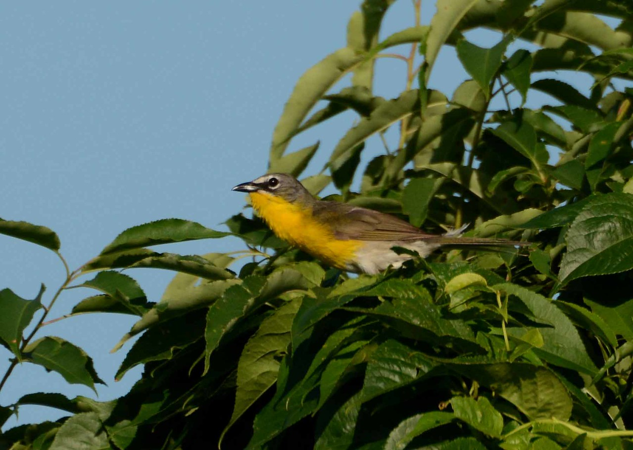 Yellow-breasted Chat (m) -- Icteria virens, brings a varied songlist and display flights to the shrubbery in ideal nesting areas.