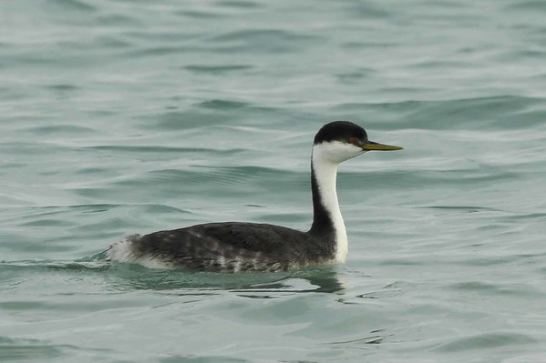 Western Grebe -- Aechmophorus occidentalis, an uncommon winter angler here.  'work is for people who don't know how to fish' ~ off-day proverb