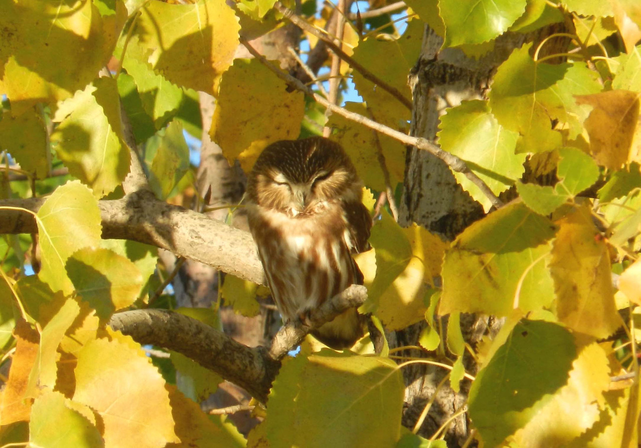 "Northern Saw-whet Owl -- Aegolius acadicus, resting in a Cottonwood<br /> <br /> ""…I'd like to suggest that it's past time for the inmates of modern industrial civilization to grow up, sprout some gonads—either kind, take your pick—and deal with the simple, necessary, and healthy realization that our species is not going to be around forever. Just as maturity in the individual arrives when it sinks in that human life is finite, collective maturity may just wait for a similar realization concerning the life of the species. That kind of maturity would be a valuable asset just now, not least because it might help us grasp some of the extraordinary possibilities that will open up as industrial civilization finishes its one-way trip down the chute marked ""decline and fall"" and the deindustrial future ahead of us begins to take shape."" ~ John Michael Greer, The Archdruid Report, October 12, 2016"
