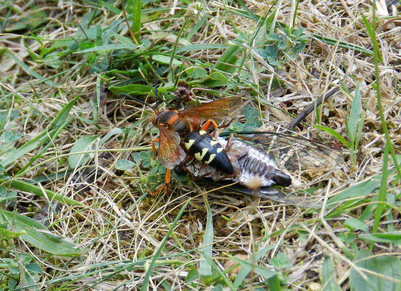Eastern Cicada Killer (f) -- Sphecius speciosus, trying to bring paralyzed Cicada to her burrow. 'Cicada' may be a remnant from a lost Mediterranean language.<br /> <br /> 'Nothing in the cry of the cicadas suggests they are about to die.' ~ Basho