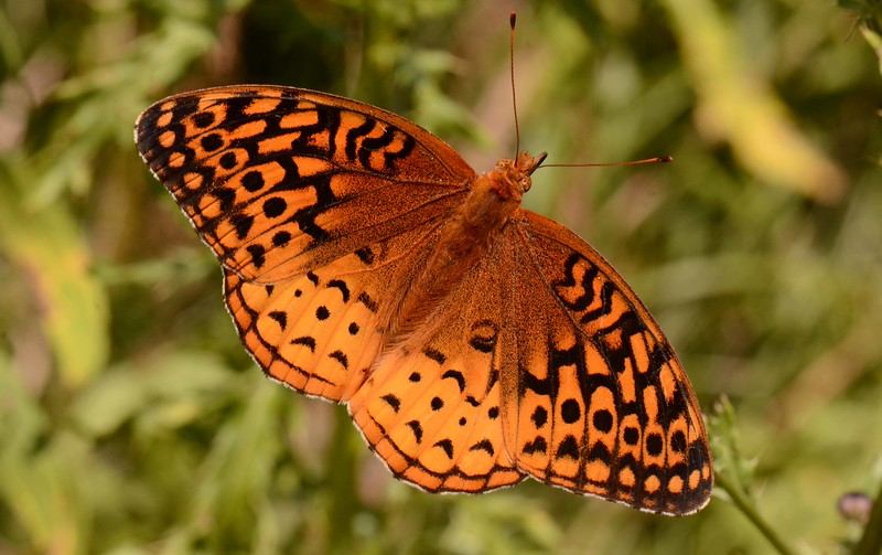"""'The butterfly has no<br /> clock. It is always noon<br /> where it is, the sun overhead,<br /> the flower feeding on what feeds<br /> on itself. The wings turn and are sails<br /> of a slow windmill, not to grind<br /> but to be the signal for another<br /> aviator to arrive that the air<br /> may have dancing, a movement<br /> of wings in an invisible<br /> ballroom to a music that,<br /> unheard by ourselves, is to them<br /> as though it will never cease.' ~ from """"Minuet"""" by R. S. Thomas"""