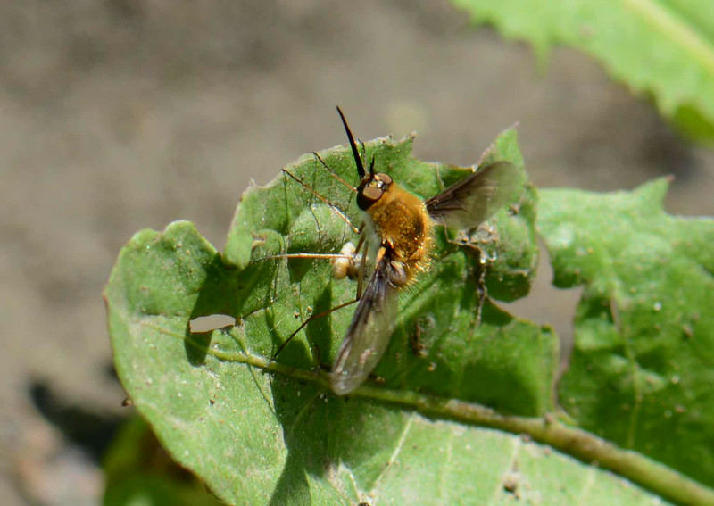 """a Bee Fly, Family Bombyliidae, laying an egg on a Dandelion leaf.  Adult Bee Flies feed mainly on nectar but their larvae are specialized parasites that consume other insect larvae (often bees). Eggs are laid in areas frequented by potential hosts. Famous naturalist Jean-Henri Fabre described their larval feeding as a """"perfidious kiss"""" where the parasite sucks the body contents out of the host without making a visible wound.<br /> <br /> """"This method of taking nourishment implies an exceptional apparatus of the mouth, into which it behooves us to inquire before continuing."""" ~ Fabre, """"The Life of the Fly, Chapter II: The Anthrax"""""""