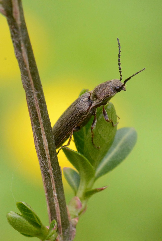 Click Beetle, family Elateridae, approx. 800 North American species<br /> <br /> 'There are more things in heaven and earth, Horatio, <br /> Than are dreamt of in your philosophy.' ~ Shakespeare, Hamlet [I, 5].
