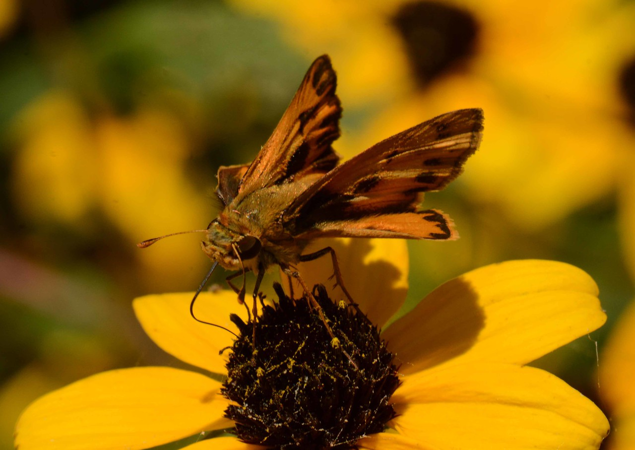 Fiery Skipper (m) -- Hylephila phyleus, IL populations increase in late summer and peak in September. On Brown-eyed Susan -- Rudbeckia triloba.