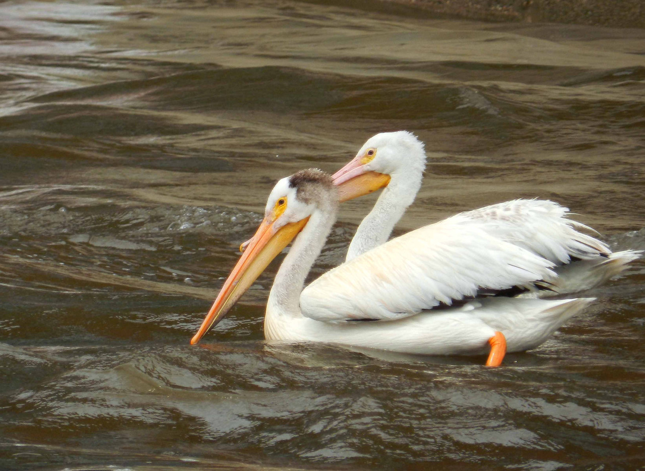 "American White Pelicans -- Pelecanus erythrorhynchos, summer adult (fore), juvenile (shielded)<br /> <br /> ""We do not see nature with our eyes, but with our understandings and our hearts."" ~ William Hazlitt"