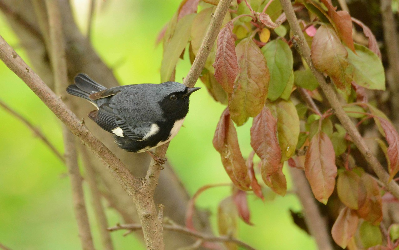 Black-throated Blue Warbler (Appalachian male) -- Setophaga caerulescens<br /> <br /> 'may my heart always be open to little<br /> birds who are the secret of living<br /> whatever they sing is better than to know<br /> and if men should not hear them men are old<br /> <br /> may my mind stroll about hungry <br /> and fearless and thirsty and supple<br /> and even if it's sunday may i be wrong<br /> for whenever men are right they are not young<br /> <br /> and may myself do nothing usefully<br /> and love yourself so more than truly<br /> there's never been quite such a fool who could fail<br /> pulling all the sky over him with one smile' ~ e.e. cummings, 1938