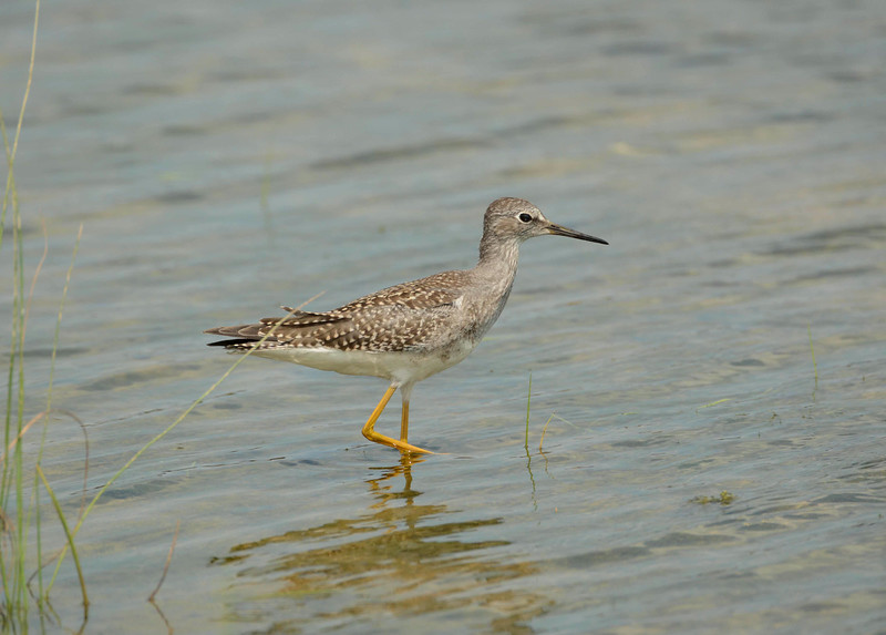 """Lesser Yellowlegs -- Tringa flavipes<br /> <br /> """"I believe in God, only I spell it Nature."""" ~ Frank Lloyd Wright"""