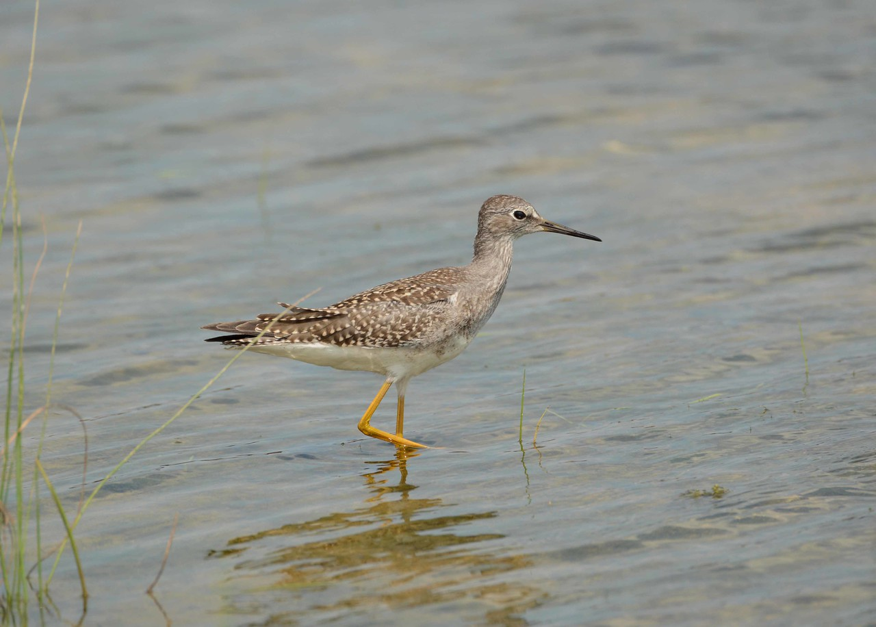 "Lesser Yellowlegs -- Tringa flavipes<br /> <br /> ""I believe in God, only I spell it Nature."" ~ Frank Lloyd Wright"