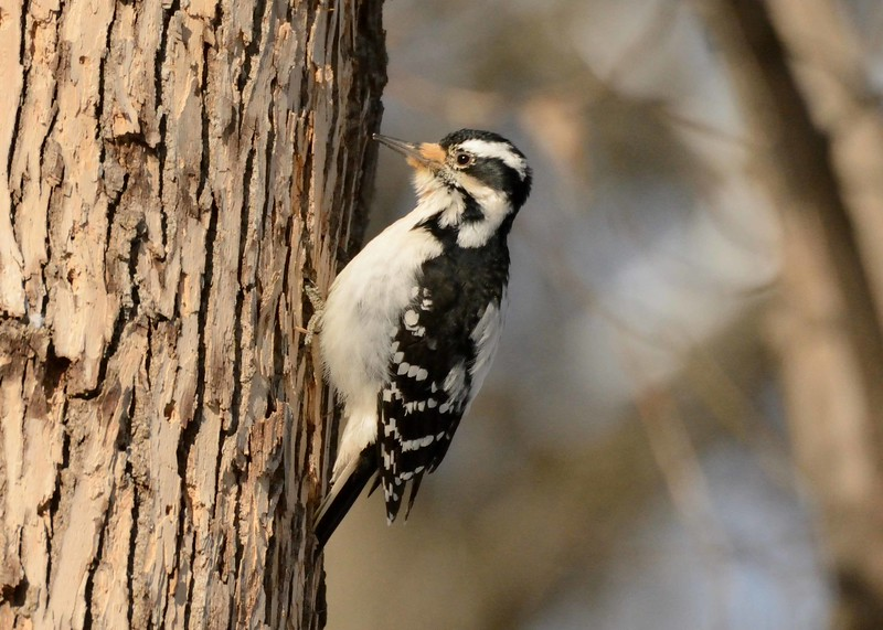 "Hairy Woodpecker (f) -- Picoides villosus, woodworkers local #236 rapresentative on the job<br /> <br /> ""Illumination is the recognition of the radiance of one eternity through all things."" ~ Joseph Cambell"