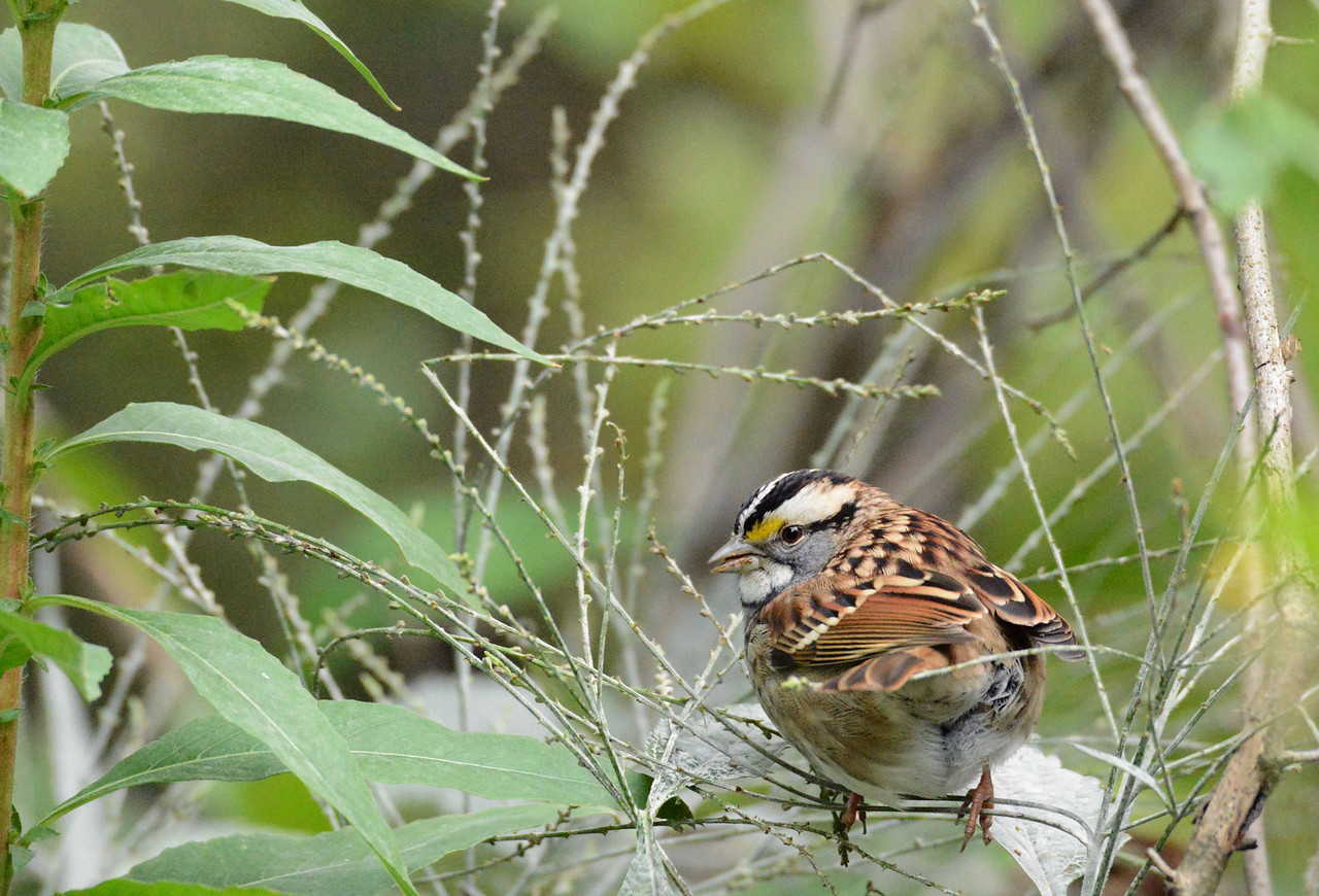 White-throated Sparrow -- Zonotrichia albicollis<br /> <br /> A seedy life is straight and narrow<br /> Standard fare for the sparrow.<br /> Their diet may appear austere<br /> Yet constance turns our blooming sphere<br /> To bounty raining dear to marrow.<br /> Eggs are seen as grains of green<br /> In songs rung through the hollow,<br /> Where winged delight will oft invite<br /> Some of us to follow. ~ 'fallow fellow follow full'