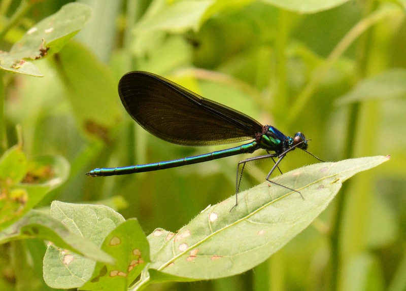 "Ebony Jewelwing (m) -- Calopteryx maculata, wiping some disbelief off its eye<br /> <br /> 'He who bends to himself a joy<br /> Does the winged life destroy;<br /> But he who kisses the joy as it flies<br /> Lives in eternity's sunrise.' ~ William Blake, ""Eternity"""