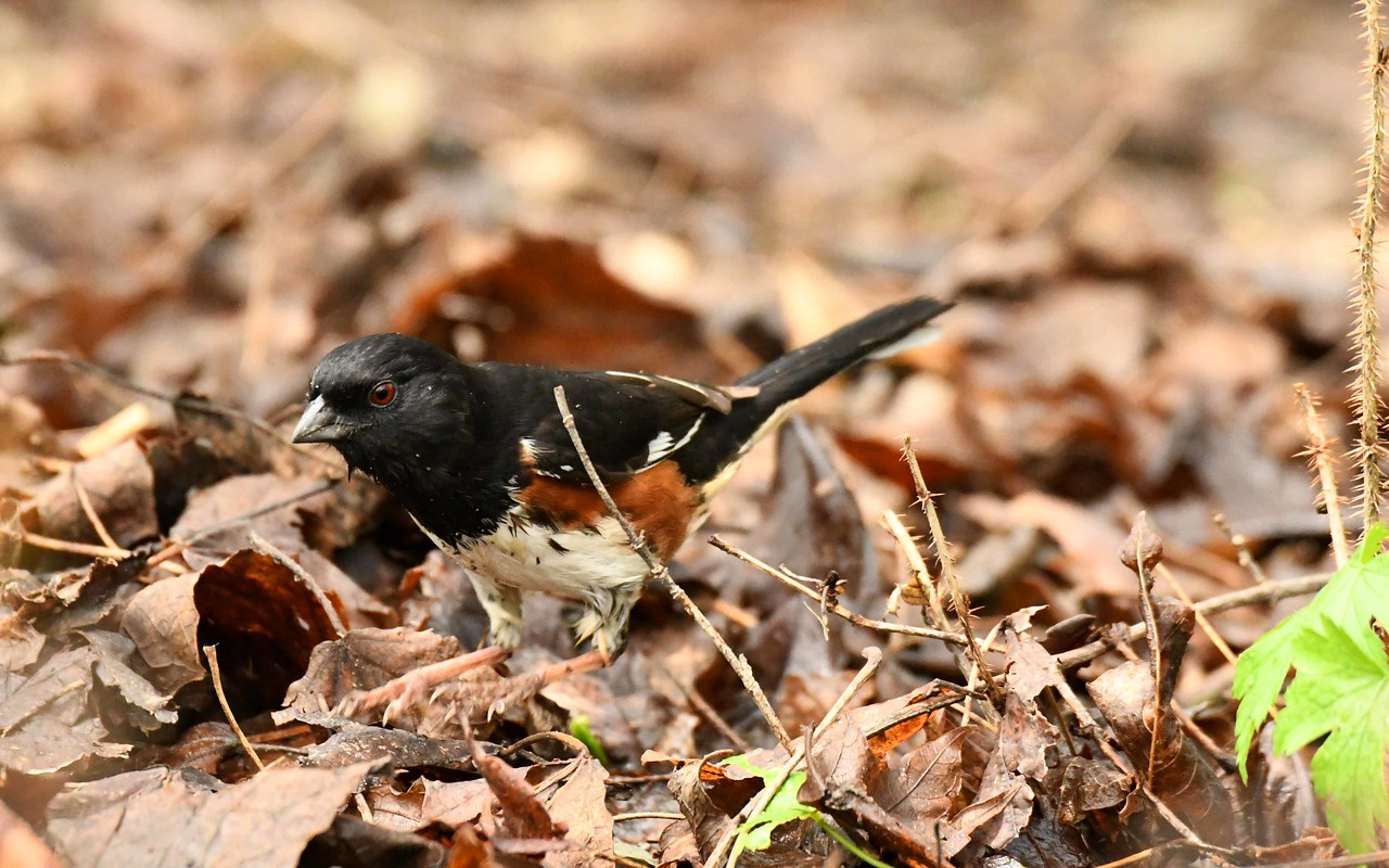 "Eastern Towhee (m) -- Piplio erythrophthalmus, does a leafy two-step<br /> <br /> ""No artist is ahead of his time.  He is his time; it is just that others are behind the times."" ~ Martha Graham"