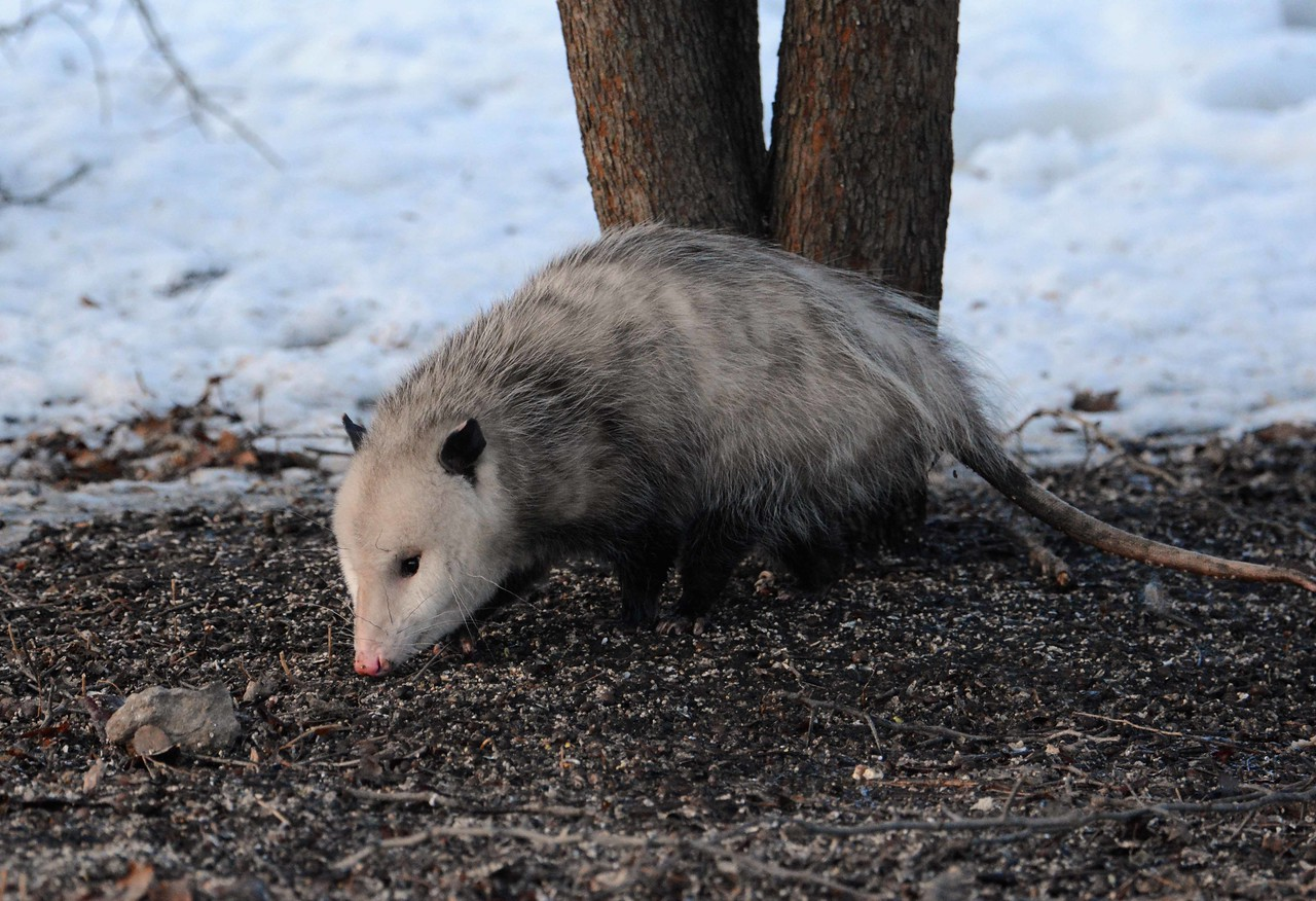 "North America's only marsupial, the Opossum -- Didelphis virginiana, welcoming the snow melt<br /> <br /> 'He's hauled himself out from a stranger place,<br /> Unnoticed and in turn unnoticing<br /> Of high-beams drifting down the cul-de-sac<br /> Or shafts of street light angling through the limbs...' ~ Daniel Anderson, ""A Possum's Tale"", 1998."