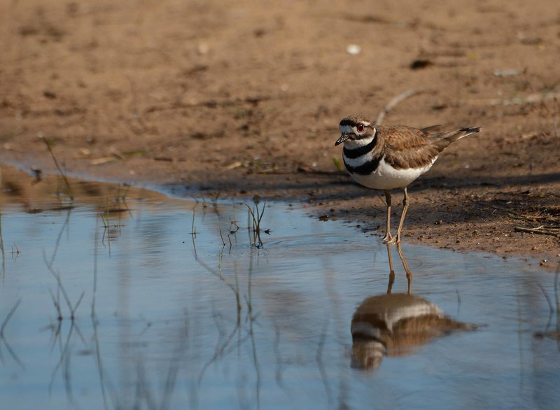 "Killdeer -- Charadrius vociferus<br /> <br /> ""There is a road from the eye to the heart that does not go through the intellect."" ~ Gilbert Keith Chesterton"
