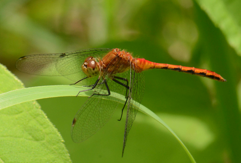 """Ruby Meadowhawk (m) -- Sympetrum rubicundulum, grasps a sedge's edges<br /> <br /> 'When new life is in the leaf<br /> And new red is in the rose,<br /> Though Love's Maytime be as brief<br /> As a dragon-fly's repose,<br /> Never moments come like those,<br /> Be they Heaven or Hell: who knows?' ~ from """"Scherzo"""" by James Russell Lowell"""