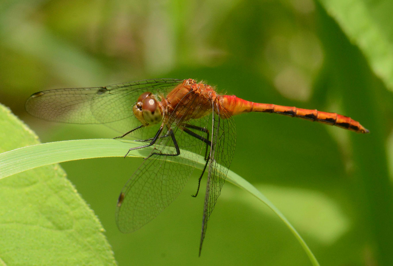 "Ruby Meadowhawk (m) -- Sympetrum rubicundulum, grasps a sedge's edges<br /> <br /> 'When new life is in the leaf<br /> And new red is in the rose,<br /> Though Love's Maytime be as brief<br /> As a dragon-fly's repose,<br /> Never moments come like those,<br /> Be they Heaven or Hell: who knows?' ~ from ""Scherzo"" by James Russell Lowell"