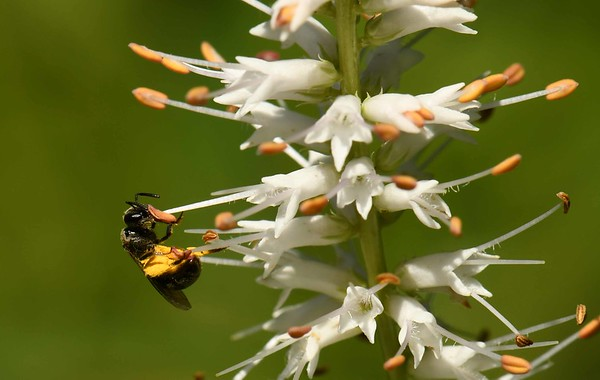 Culver's Root -- Veronicastrum virginicum, draws a tiny Leafcutter Bee, Family Megachilidae