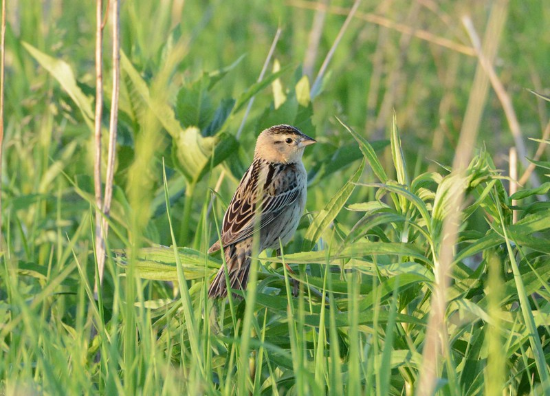 "Bobolink (f) -- Dolichonyx oryzivorus<br /> <br /> ""...it is very encouraging to see some species of high conservation concern bucking their longer-term, larger-scale population trends with stability or recent increases in the Chicago Region."" ~ Jeff Walk, The Nature Conservancy, 2014."