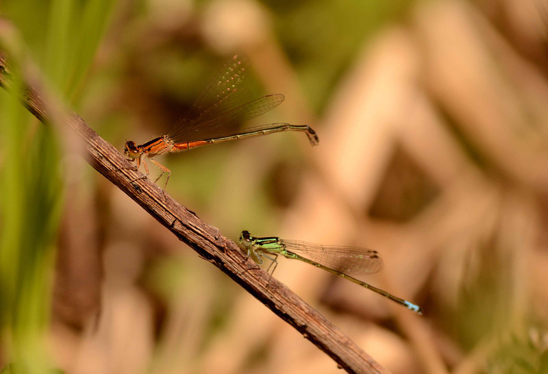 "Eastern Forktails -- Ishnura verticalis -- immature female on top, male below<br /> <br /> '...it survived beyond<br /> what could be known at the time<br /> in its archaic<br /> untaught language<br /> that brings bees to the rosemary...' ~ W. S. Merwin, ""Heartland"""