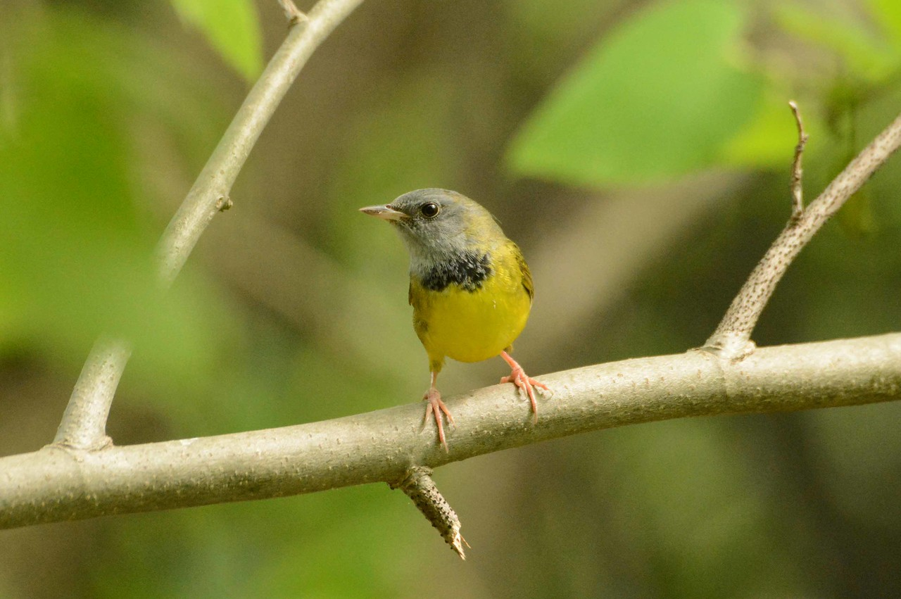 "Mourning Warbler (m) -- Geothlypis philadelphia, include the northeastern tip of IL in their breeding range.<br /> <br /> '...It's a problem, what to do<br /> with yourself after you're dead.<br /> Then there's before.' ~ from ""Blue Dwarfs"" by Margaret Atwood, 1981."