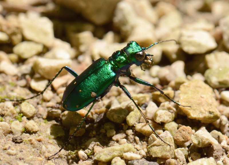 "Six-spotted Tiger Beetle -- Cicindela sexguttata<br /> <br /> ""Most children have a bug period, and I never grew out of mine."" ~ Edward O. Wilson"