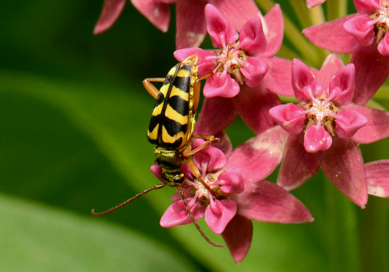 "Flower Longhorn -- Family Cerambycidae, possibly Strophiona spp.<br /> <br /> '...Look around around...' ~ Beatles, ""Dear Prudence"""