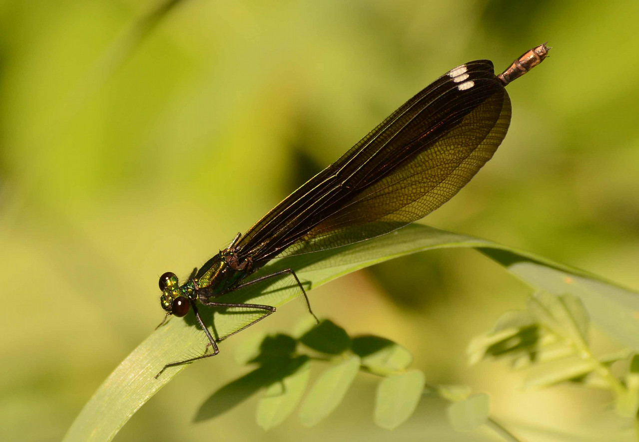 "Ebony Jewelwing (f) -- Calopteryx maculata, likes woodland streams<br /> <br /> ""Beauty is a fragile gift."" ~ Ovid"