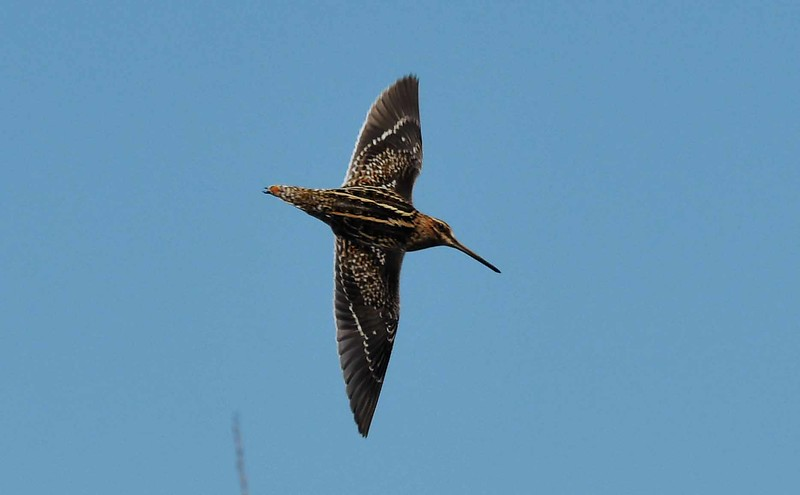 Wilson's Snipe -- Gallinago delicata, top speeds around 60 mph.