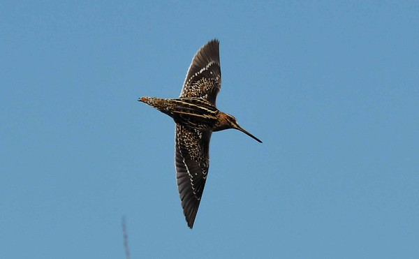 Wilson's Snipe -- Gallinago delicata, seem to be expanding their breeding range further south into our region.