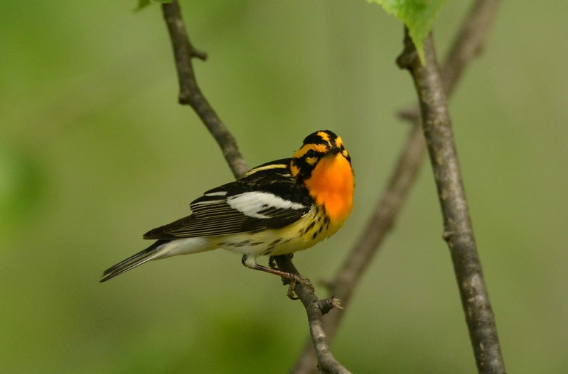 "Blackburnian Warbler (m) -- Setophaga fusca, a passing migrant<br /> <br /> ""There is nothing to compare with the exquisite hue of this Promethean torch."" ~ Elliott Coues"