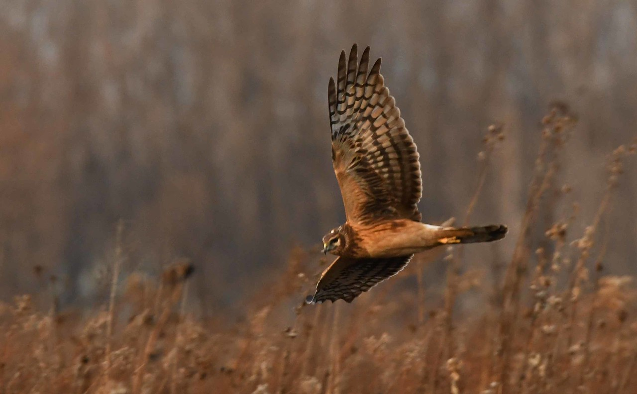 "juvenile Northern Harrier -- Circus cyaneus<br /> <br /> 'Give me but a tearing,<br /> A scrap of Beauty's cloth,<br /> Warm from her wearing;<br /> A song, a shell, a moth,<br /> Still faintly fragrant,<br /> Her glove, her torn veil,<br /> And I will find vagrant<br /> Beauty's trail.' ~ Isabel Fiske Conant, ""Hound of Beauty"""