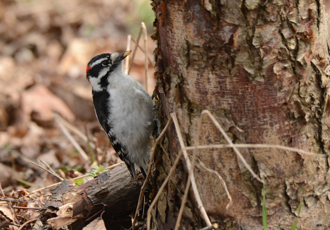 "Downy Woodpecker (adult Eastern male) -- Picoides pubescens<br /> <br /> 'Why does Downy live alone<br /> In his snug retreat?<br /> Has he found that near the bone<br /> Is the sweetest meat?' ~ John Burroughs, ""The Downy Woodpecker"""