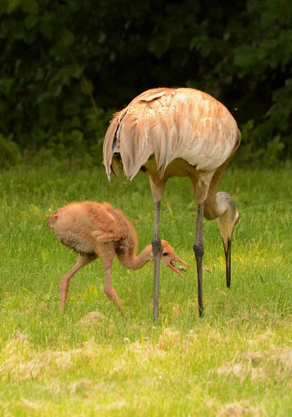 """Sandhill Cranes -- Grus canadensis, threatened in IL. Parent digging up grubs for one of its colts at the Crabtree Nature Center in Barrington, IL.<br /> <br /> """"When we hear his call, we hear no mere bird.  He is the symbol of our untamable past, of that incredible sweep of millennia which underlies and conditions the daily affairs of both birds and men."""" ~ Aldo Leopold, """"Marshland Elegy"""", 1970."""
