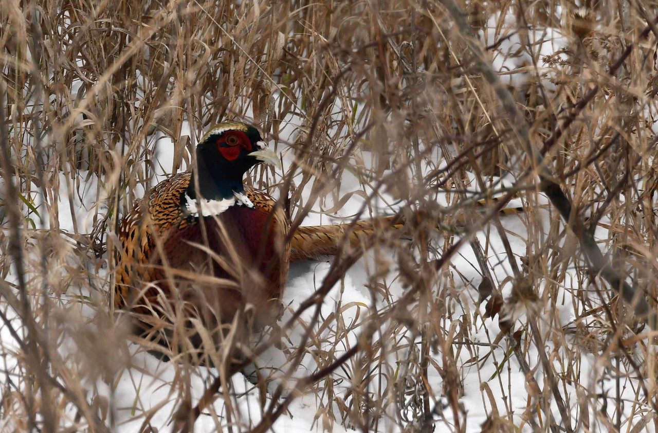 """Ring-necked Pheasant (m) -- Phasianus colchicus, sticking to cover during pheasant season<br /> <br /> 'In masks outrageous and austere<br /> The years go by in single file;<br /> But none has merited my fear,<br /> And none has quite escaped my smile.' ~ from """"Let No Charitable Hope"""" by Elinor Wylie"""