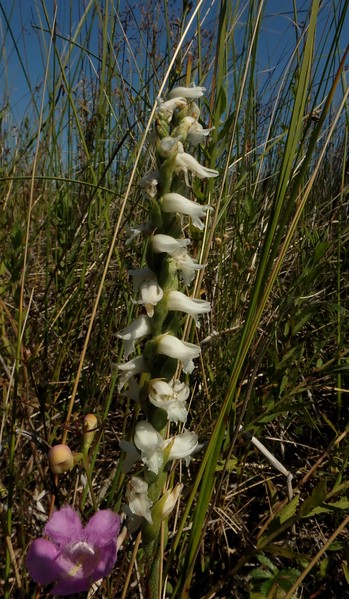 i think Nodding Ladies'-Tresses -- Spiranthes cernua, but there are 40-some species in this genera of perennial orchids, plus hybrids.