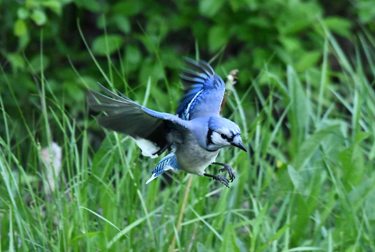 "Blue Jay -- Cyanocitta cristata, spies a beetle on morning forage<br /> <br /> ""Our task must be to free ourselves by widening our circle of compassion to embrace all living creatures and the whole of nature and its beauty."" ~ Albert Einstein"