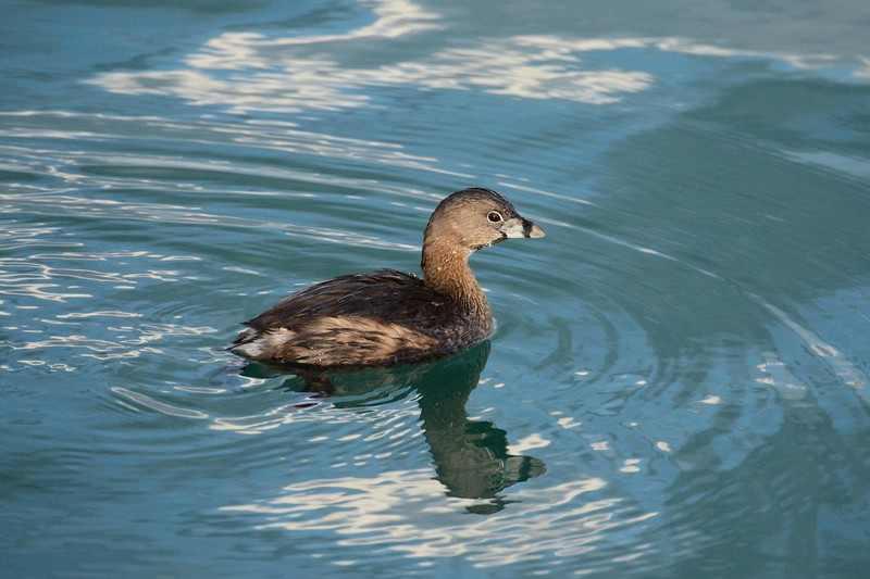 "Pied-billed Grebe -- Podilymbus podiceps<br /> <br /> 'Errors, like flaws, upon the surface flow;<br /> He who would search for pearls must dive below.' ~ John Dryden, Prologue, ""All for Love"", 1677."