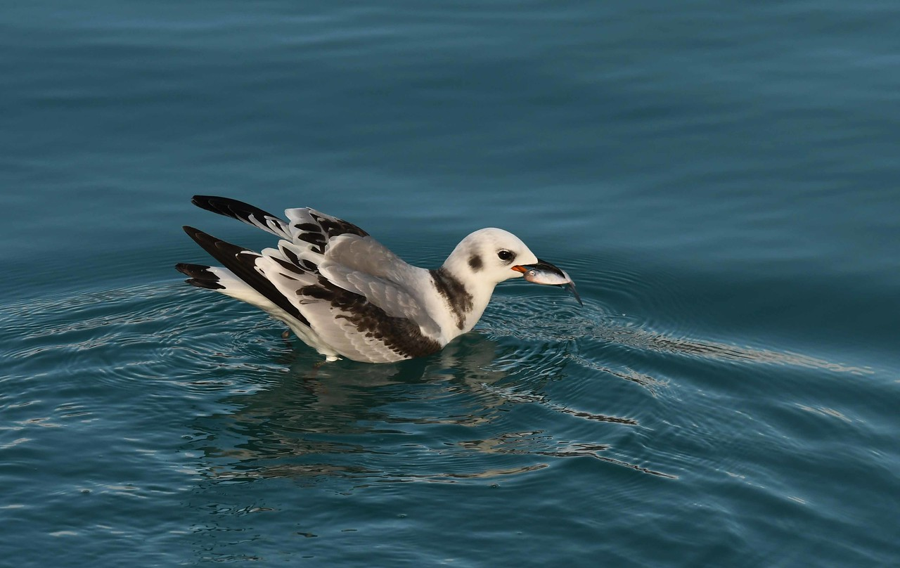 juvenile Black-legged Kittiwake -- Rissa tridactyla. These gulls are more likely seen around ocean waters than fishing by Steelworker's Park.