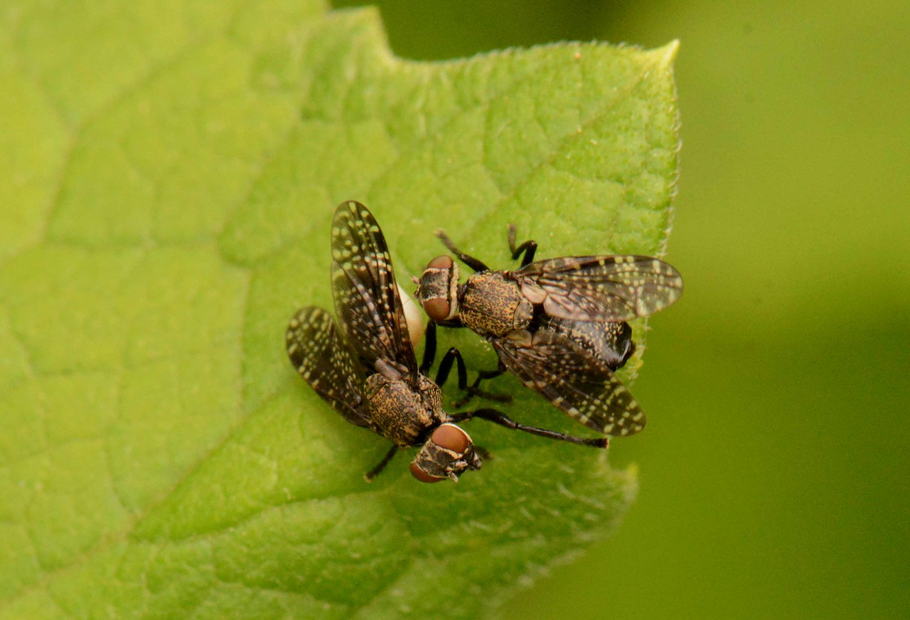 """Fruit Flies, Family Tephritidae. These two engaging in fairly elaborate mating behavior.<br /> <br /> """"Time flies like an arrow, fruit flies like a banana."""" ~ Groucho Marx"""