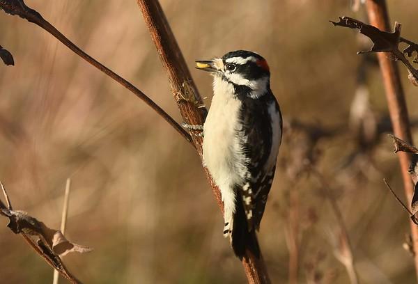 Downy Woodpecker (m) -- Picoides pubescens